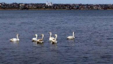 «Красивые птицы»: в Николаев прилетела стая серых лебедей-шипунов | Корабелов.ИНФО