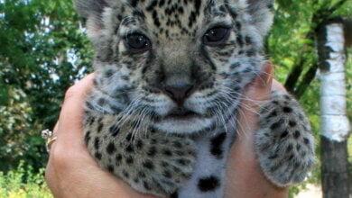 Photo of В Николаевском зоопарке самка ягуара родила детеныша, которого приходится выкармливать человеку