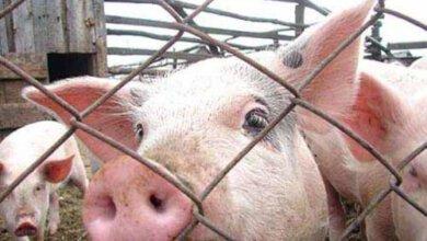 Африканская чума угрожает свиньям на Николаевщине