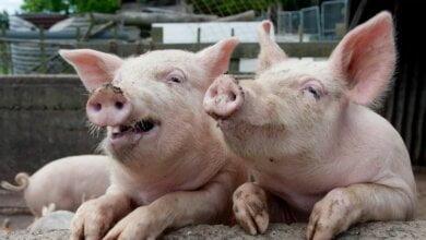 В Витовском районе - еще одна вспышка свиной чумы | Корабелов.ИНФО