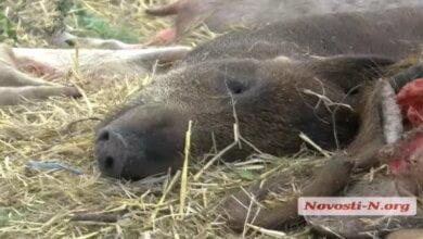 В Витовском районе местные жители устроили нелегальный могильник свиней 18+ | Корабелов.ИНФО image 1