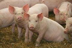 В Витовском районе еще одна вспышка африканской чумы свиней | Корабелов.ИНФО