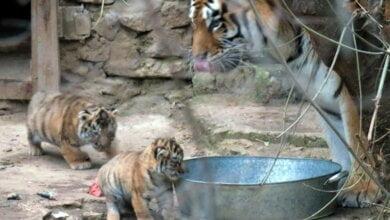 Бэби-бум в Николаевском зоопарке: две амурские тигрицы родили сразу пятерых тигрят   Корабелов.ИНФО image 4
