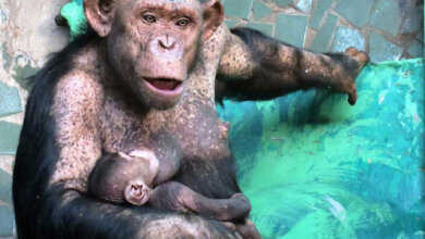 Ми-ми-ми: мама шимпанзе кормит грудью ребенка в Николаевском зоопарке   Корабелов.ИНФО