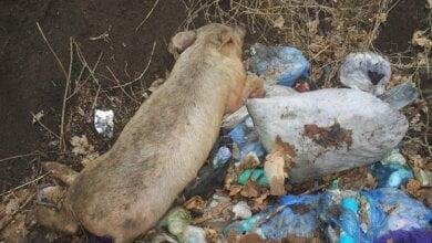 На стихийную свалку в Корабельном районе выбросили труп свиньи | Корабелов.ИНФО