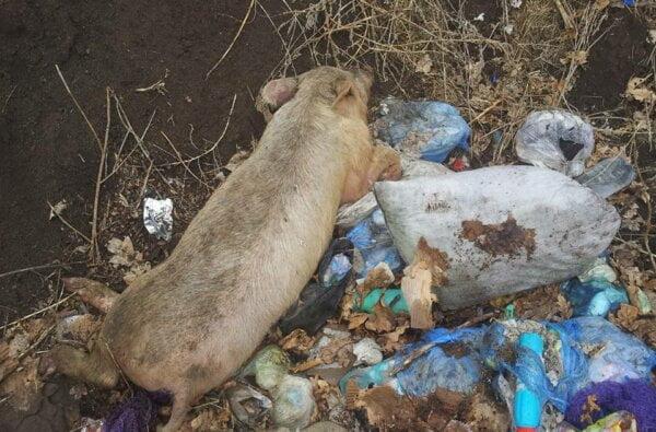 На стихийную свалку в Корабельном районе выбросили труп свиньи   Корабелов.ИНФО