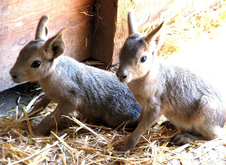 Детеныши лам и мар подрастают в Николаевском зоопарке   Корабелов.ИНФО image 4
