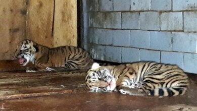 В Николаевском зоопарке родились тигрята | Корабелов.ИНФО