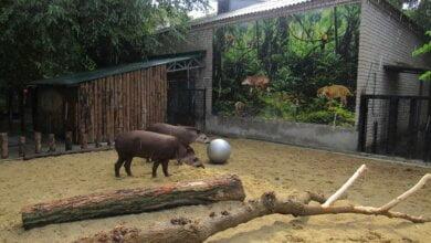 Тапиры в Николаевском зоопарке полюбили играть в футбол | Корабелов.ИНФО image 1