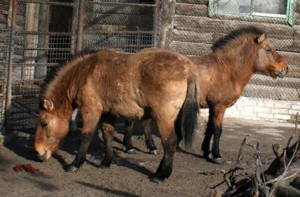 Зуб коня из николаевского зоопарка помог составить карту ДНК исчезающего вида   Корабелов.ИНФО