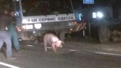 200 свиней выбежали на дорогу из перевернутого грузовика в результате ДТП на Николаевщине | Корабелов.ИНФО image 3