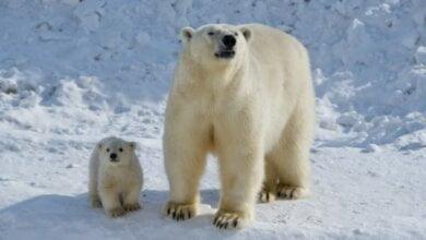 В Николаевском зоопарке родился белый медвежонок | Корабелов.ИНФО