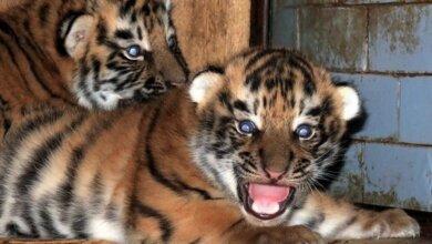 65-ый и 66-ой по счету: в Николаевском зоопарке пополнение — родились тигрята   Корабелов.ИНФО