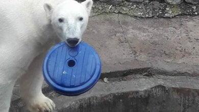 """""""Крестные мамы"""" из Европы прислали подарки белому медведю в Николаевский зоопарк   Корабелов.ИНФО image 1"""
