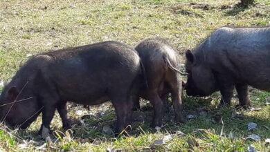 Свиньи, загрызшие своего хозяина, до сих пор бегают по селу на Николаевщине и пугают людей (ВИДЕО)   Корабелов.ИНФО
