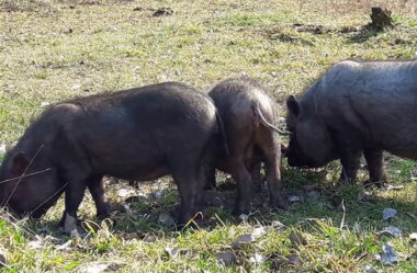 На Миколаївщині домашні свині пошматували тіло свого господаря, виївши йому внутрішні органи