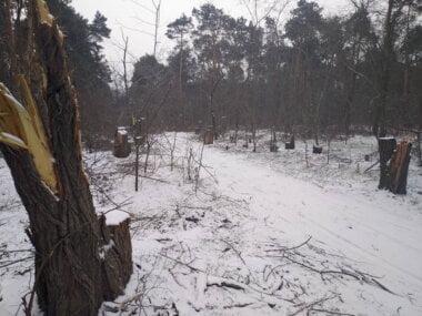 Браконьеры-лесорубы пилят акации в Балабановском урочище