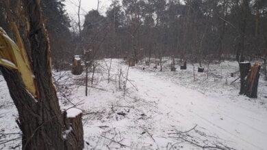 Браконьеры-лесорубы пилят акации в Балабановском урочище | Корабелов.ИНФО image 3