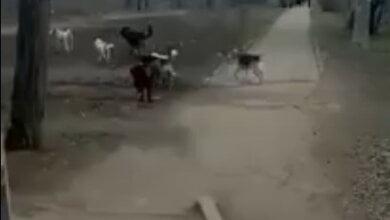 Во дворе школы в Корабельном районе собаки терроризируют детей и взрослых | Корабелов.ИНФО