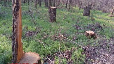 Браконьеры вырубают целые просеки в Балабановском лесу (фото, видео) | Корабелов.ИНФО image 3