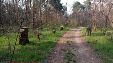 Браконьеры вырубают целые просеки в Балабановском лесу (фото, видео) | Корабелов.ИНФО image 4