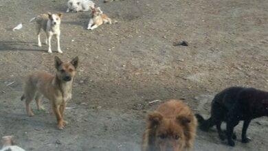 Уже полгода в Николаеве не ловят бродячих собак из-за карантина   Корабелов.ИНФО
