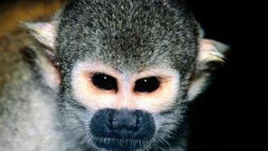 Обезьяна-долгожитель, претендующая на мировой рекорд, живет в николаевском зоопарке   Корабелов.ИНФО