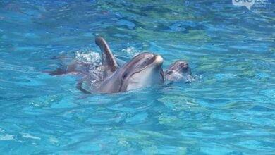 В дельфинарии Одессы детеныш родился во время шоу (Видео)   Корабелов.ИНФО
