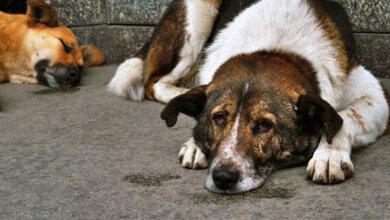 Photo of У бродячих собак в Николаеве обнаружили сердечный глист, передающийся человеку – уже заболели два жителя города