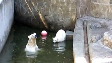 Photo of Опубликовано видео, как медведица и медвежонок плавают в бассейне в Николаевском зоопарке