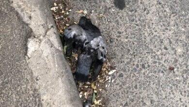 дохлый голубь