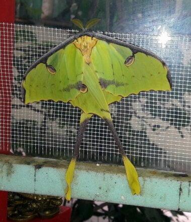 «Произошло чудо», – в Николаевском зоопарке родилась редкая ночная бабочка