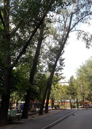 тополя возле дома по ул. Океановской, 40