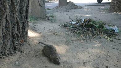 Около рынка «Колос» в Николаеве, недалеко от роддома, валяются трупы огромных крыс   Корабелов.ИНФО