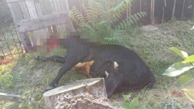 Бешеный бык напал на жителей Николаевской области – двое пострадавших оказались в больнице | Корабелов.ИНФО