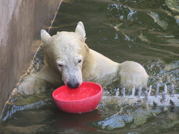 «Ее имя - Сметанка», – в Николаевском зоопарке представили маленькую белую медведицу