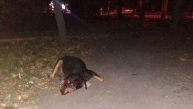 собака, сбитая автомобилем