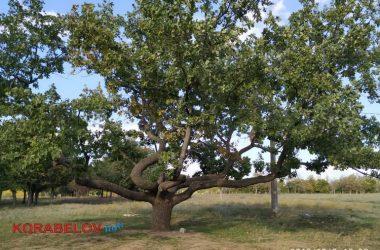 """горизонтальный дуб в парке """"Дружба"""" (Корабельный район г. Николаева)"""