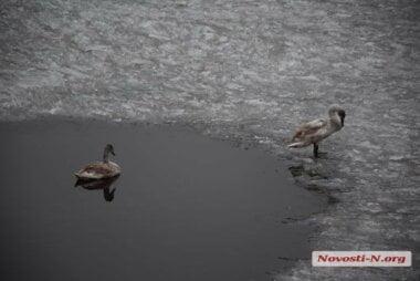 В Николаеве на реке поселилась пара лебедей (видео)