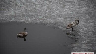 В Николаеве на реке поселилась пара лебедей (видео) | Корабелов.ИНФО
