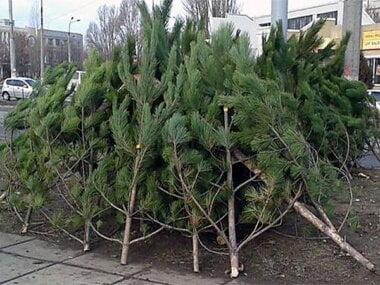 Николаевский исполком утвердил места продажи новогодних елок, из них 39 - в Корабельном районе