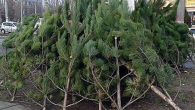 Николаевский исполком утвердил места продажи новогодних елок, из них 39 - в Корабельном районе | Корабелов.ИНФО image 8