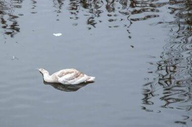 «Не нужны этому городу ни лебеди, ни деревья»... Умер один из лебедей, поселившихся на реке в Николаеве