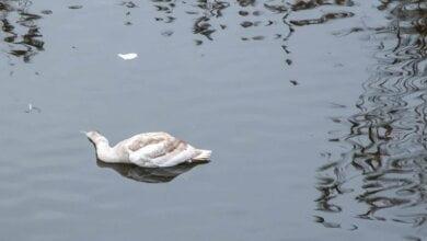 «Не нужны этому городу ни лебеди, ни деревья»... Умер один из лебедей, поселившихся на реке в Николаеве | Корабелов.ИНФО