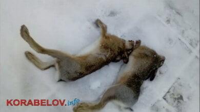 убитые зайцы