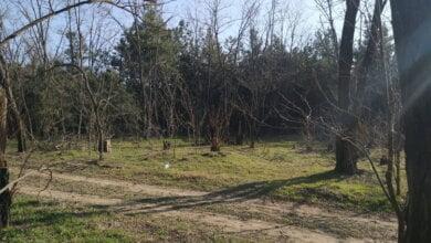 Браконьеры не останавливаются: в Балабановском лесу появились новые участки незаконной вырубки деревьев | Корабелов.ИНФО image 3