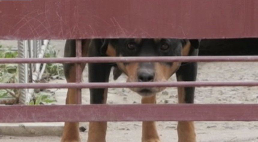 Просто дал команду «фас» и спустил собаку с поводка: подробности нападения ротвейлера на девушку в Вознесенске