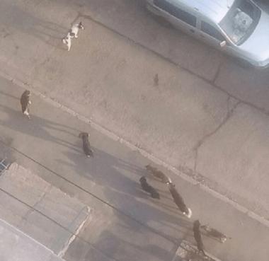 «Кочует по всему микрорайону», - жительница Кульбакино просит принять меры по стае агрессивных собак