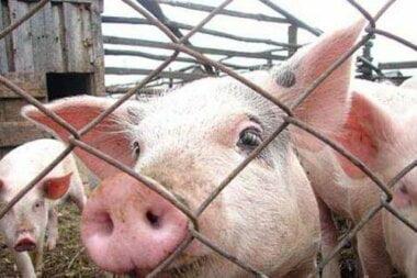 В Витовском районе обнаружили свиней с чумой
