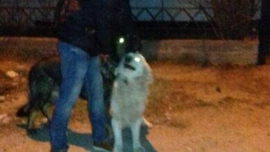 """""""Мама пыталась достать нашего пса из пасти овчарки"""". Жители Корабельного района жалуются на хозяина агрессивных собак   Корабелов.ИНФО"""
